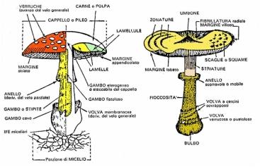 fungostipato